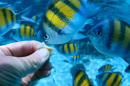 Underwater scene of feeding a sergeant fish (Abudefduf saxatilis), point of view Stock Photo - 19873041