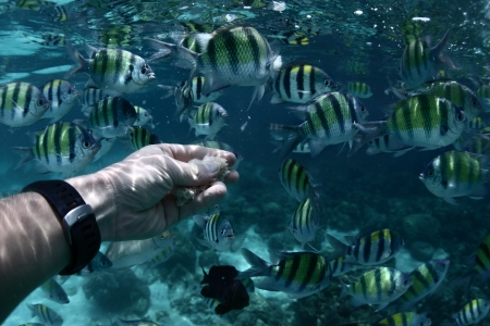 sergeant: Underwater scene of feeding a sergeant fish (Abudefduf saxatilis), point of view