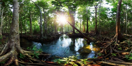 mangrove forest: Mangrove trees in a peat swamp forest and a river with clear water. Tha Pom canal, Krabi province, Thailand