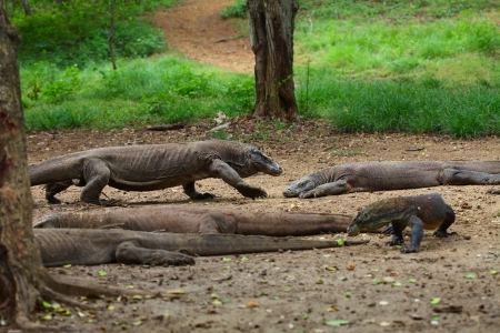 komodo: Comodo dragons walking in a park among trees. Indonesia, Rinca island Stock Photo