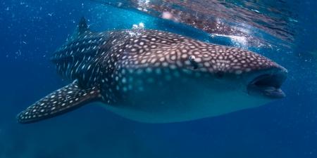 wide wet: Gigantic whale shark (Rhincodon typus) feeding near surface Stock Photo