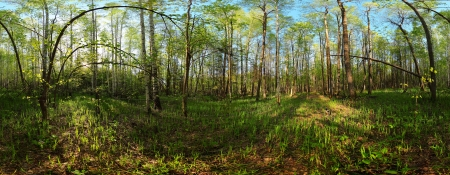 equirectangular: Panorama of spring forest with young green leaves on trees at sunny day