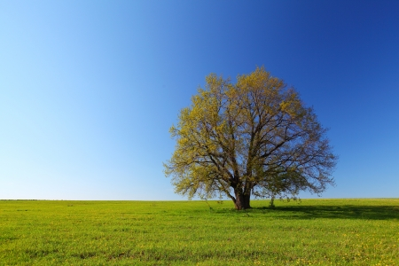 Spring tree with fresh green leaves on a meadow photo