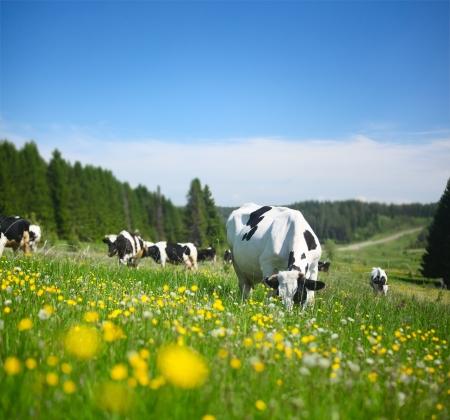 晴れた春の牧草地に放牧牛 写真素材