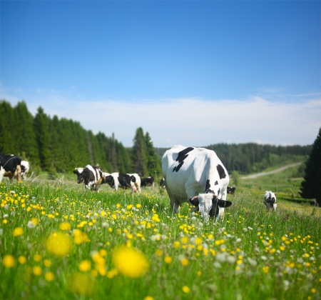 cattle grazing: Cows grazing on a spring meadow in sunny day