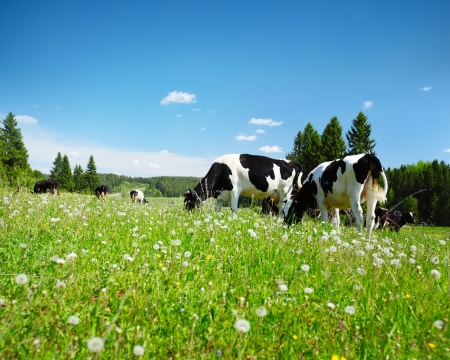 Cows grazing on a spring meadow in sunny day photo