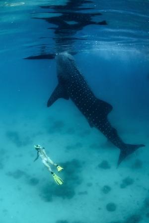 고래 상어에 의해 숨을 보류 젊은 아가씨 다이빙 스톡 콘텐츠