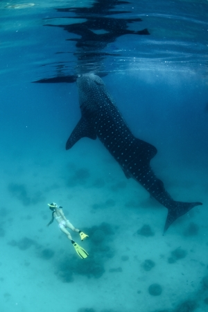 Young lady diving on a breath hold by a whale shark photo