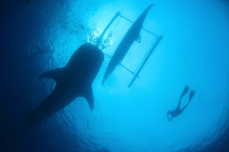 shark bay: Shilhouettes of a whale shark snorkeler and a boat Stock Photo