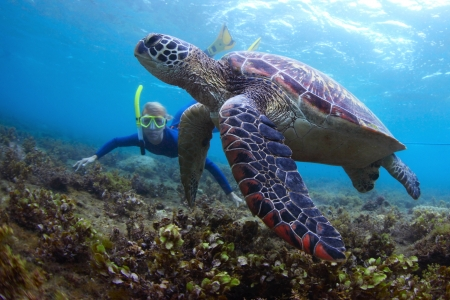 shallow water: Young lady snorkeling and diving on a breath hold by a big turtle