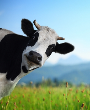 Head of funny cow looking to a camera with Alps and green meadow on the background