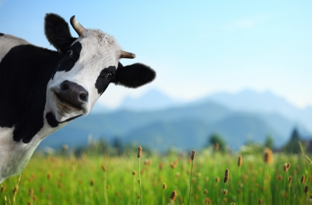 Funny cow on a green meadow looking to a camera with Alps on the background 스톡 콘텐츠