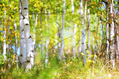 birch tree: Autumn forest in a sunny day