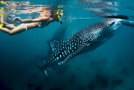 whale: Young lady snorkeling with whale shark