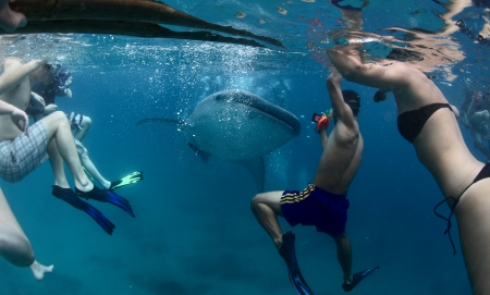 shark bay: Group of people snorkeling with whale shark