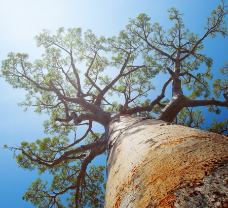 Baobab tree with green leaves on a blue clear sky background. Madagascar photo