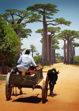 Zebu cart on a dry road leading through baobab alley. Madagascar. Focus on trees, cart is blurred photo