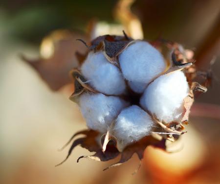 cotton crop: Cotton ball close up shot Stock Photo