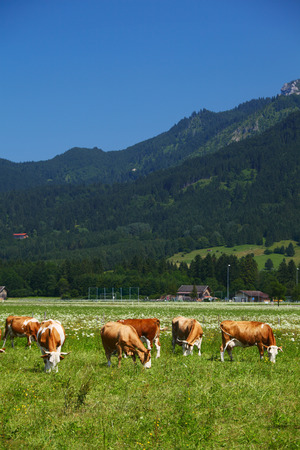 Cows grazing on a sunny green Alpine meadows photo