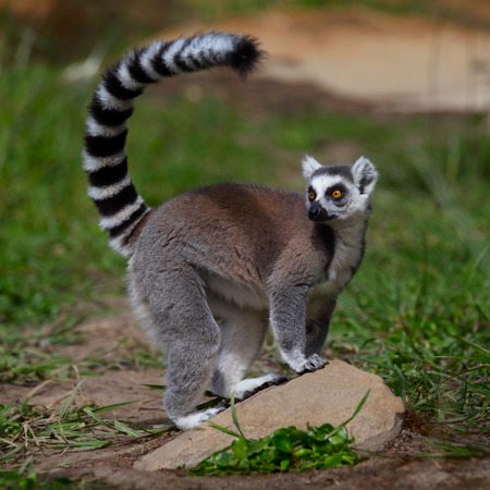 Ring tailed lemur resting on the stone. Madagascar