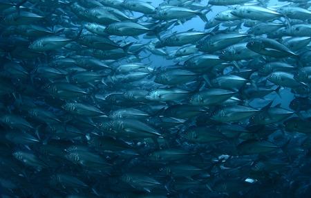 fish school: School of Jack fish underwater Stock Photo