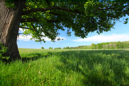 tall tree: Green lush meadow with grass and big spring oak Stock Photo