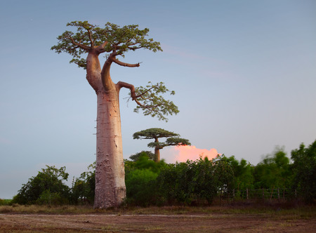 Baobab trees on a dry meadow during sunset. Madagascar photo