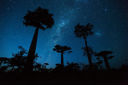 Starry sky and baobab trees on a meadow. Madagascar