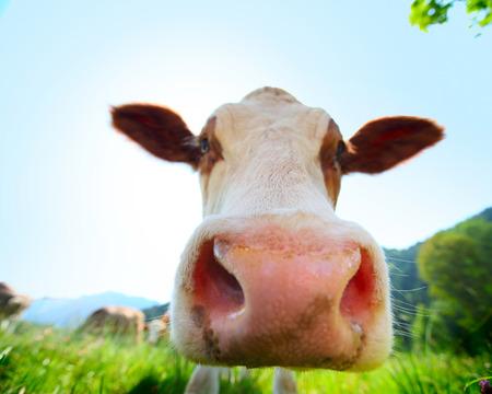 Hoofd van de koe lopen op een groene weide in zonnige dag
