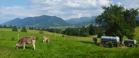 Cows grazing fresh green grass on meadow in a farmland in Alps photo