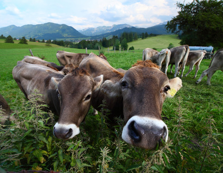 Cows on a green meadow in a farmland with Alpine valley on the background photo
