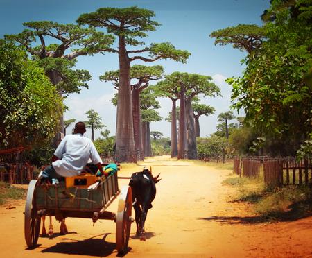 village man: Zebu cart on a dry road leading through baobab alley. Madagascar