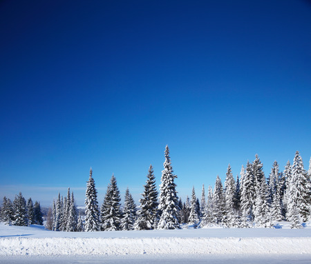 Winter forest with pine trees and snowy field and clear blue sky 版權商用圖片
