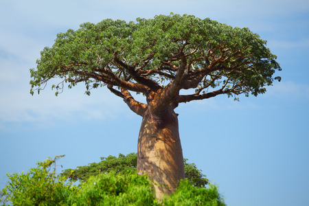 arboles secos: Baobab verde en día soleado. Madagascar