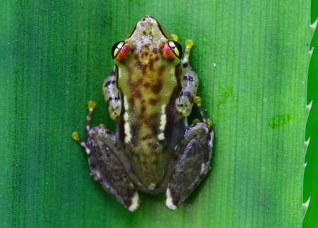 endemic: Endemic frog (Mantidactylus pulcher) on a green leaf. Madagascar