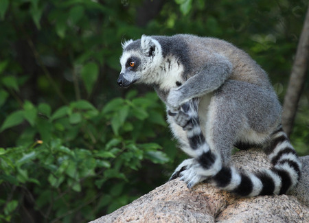 tailed: Ring tailed lemur (Lemur Catta) cleaning its tail in a forest. Madagascar