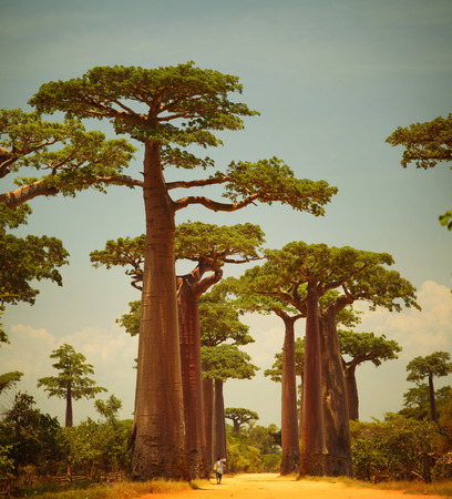 south africa soil: Baobabs and rural road in Africa at sunny day. Madagascar
