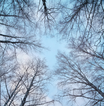 bare trees: Winter bare trees in a forest Stock Photo