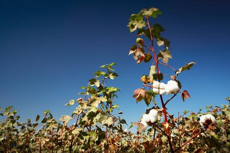bolls: Cotton field