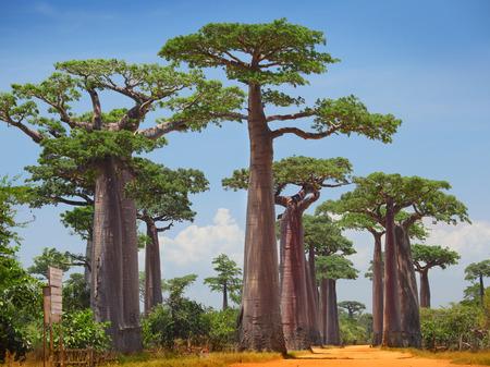 arboles secos: Árboles del baobab en una tierra seca y el cielo azul claro. Madagascar Foto de archivo