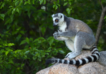 tailed: Ring tailed lemur (Lemur Catta) in a forest. Madagascar