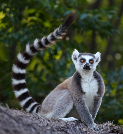ring tailed: Ring tailed lemur (Lemur Catta) in a forest. Madagascar
