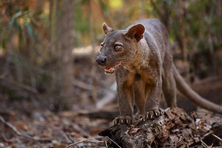 ferocious: Endemic Fossa (Cryptoprocta ferox) in a dry tropical forest. Madagascar