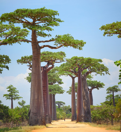 Baobabs and rural road in Africa at sunny day. Madagascar photo