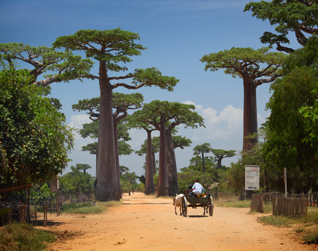 baobab: Baobabs and rural road in Africa at sunny day. Madagascar