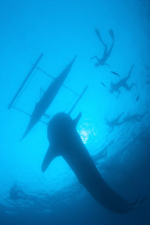 snorkelers: Silhuette of the whale shark and snorkelers near the boat