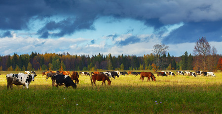 Mixed herd grazing on the autumn field photo