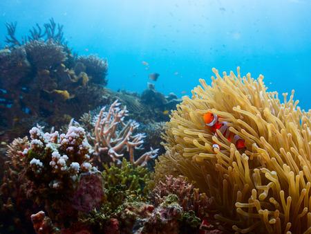 actinia: Vivid coral reef and clown fish Stock Photo