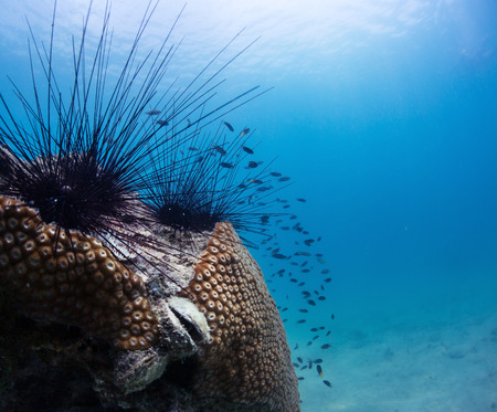 phylum: Sea urchins on a coral in tropical sea