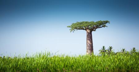 paisagem: baobá e exuberante grama verde no dia ensolarado Imagens